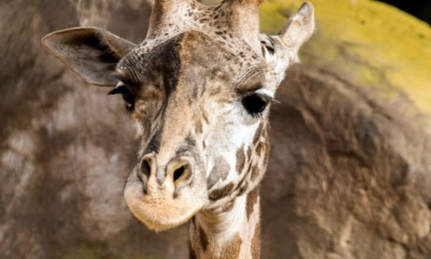 Santa Barbara Zoo Staff Mourns Death of Newborn Giraffe
