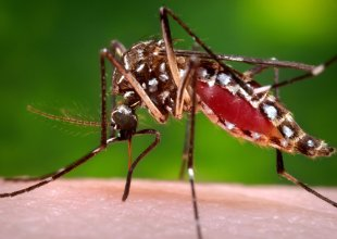 'Ankle Biter' Mosquito with West Nile Found in Santa Barbara