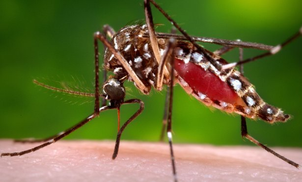 Beware of 'Ankle Biter' Mosquitoes