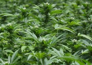 Million-Dollar Lawsuit Between Cannabis Investor and Farmer