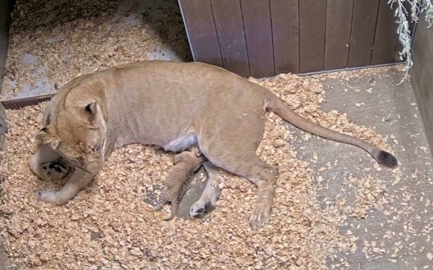 Santa Barbara Zoo's African Lion Delivers First Cub