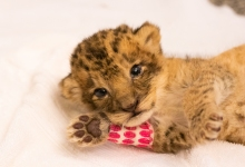 African Lion Cub Born Early November Is Named Pauline