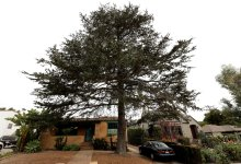 Tree Removal Request Exposes Rotten Underbelly of Santa Barbara's Appeal Process