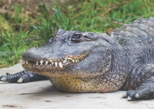 Mary Lou the Alligator, the Santa Barbara Zoo's Oldest Resident, Dies at 58