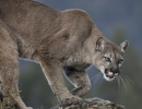 Science Pub From Home: Humans and Mountain Lions