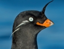 Zoom Event: The Russian Far East – Birding in the Sea of Sorrow