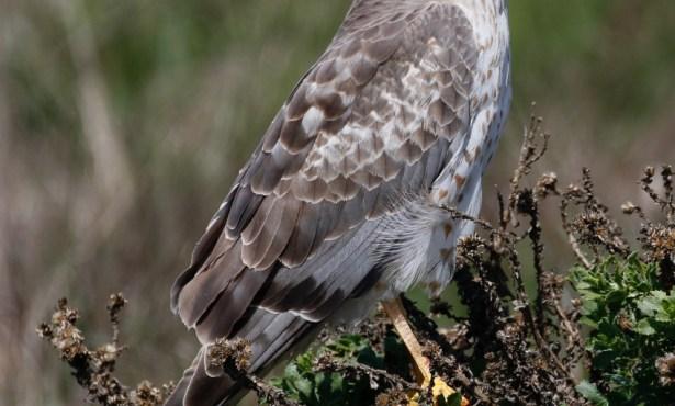 Santa Barbara Birding: The Changing of the Guard
