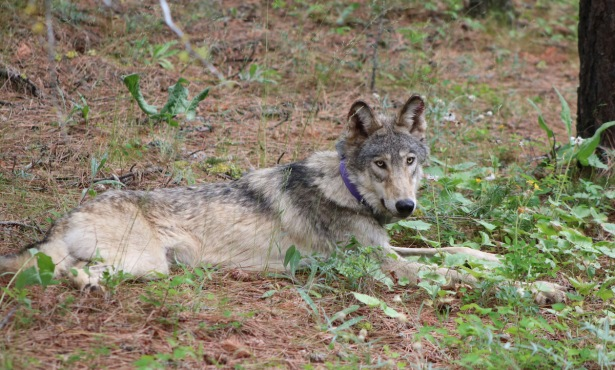 California's Central Coast Welcomes First Gray Wolf in Over 100 Years