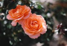 Santa Barbara Gardening: A Rose By Any Other Name