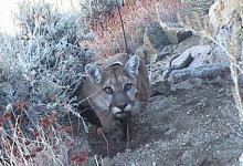 Endangered Mountain Lion Killed on Gaviota Pass