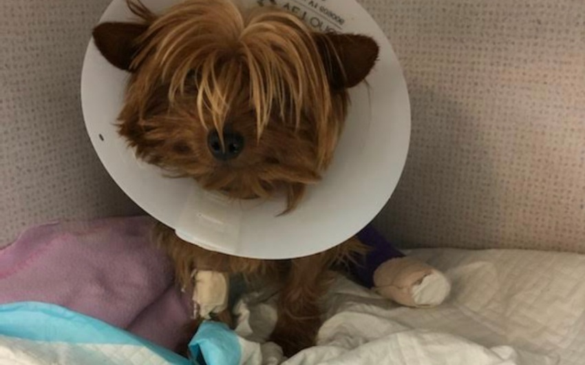 The Saga of Chloe the Yorkie, Suddenly Lost and Quickly Adopted