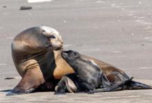 Baby Sea Lion Born at Santa Barbara's Launch Ramp