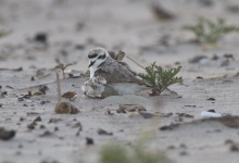 Plovers Successfully Nest for First Time on Carpinteria State Beach Since 1960