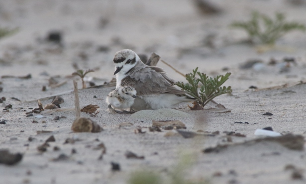 Plovers Successfully Nest for First Time on Carp State Beach Since 1960