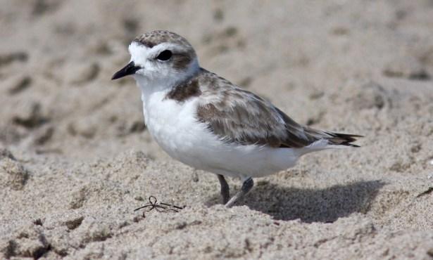 Santa Barbara Birding: A Recent History of Snowy Plovers