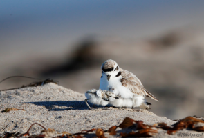 Restoration and Conservation at UCSB's Coil Oil Point Reserve on Zoom