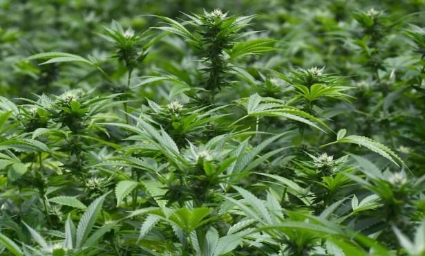 Cannabis Tax Revenues Continue to Soar