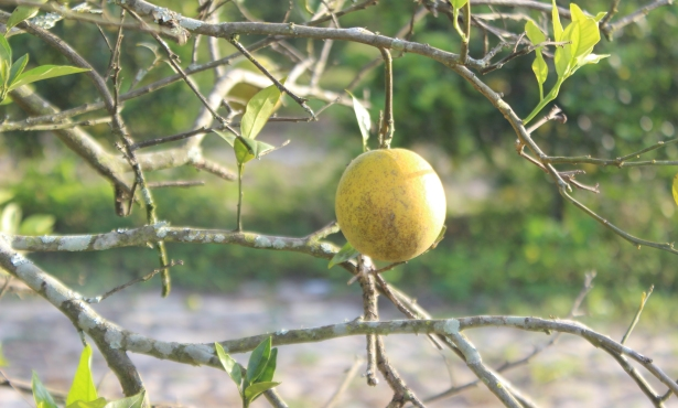 A Threat to Santa Barbara's Citrus Inches Closer