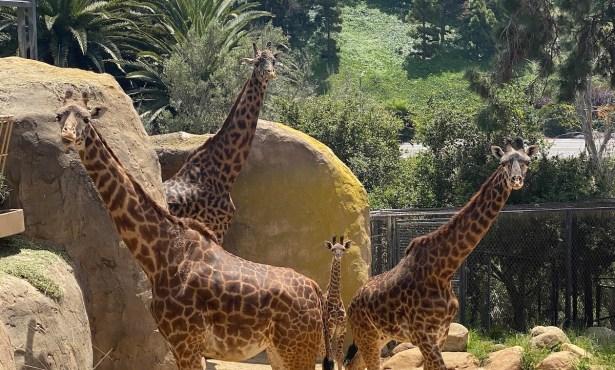 Santa Barbara Zoo Announces Two Endangered Giraffes Pregnant