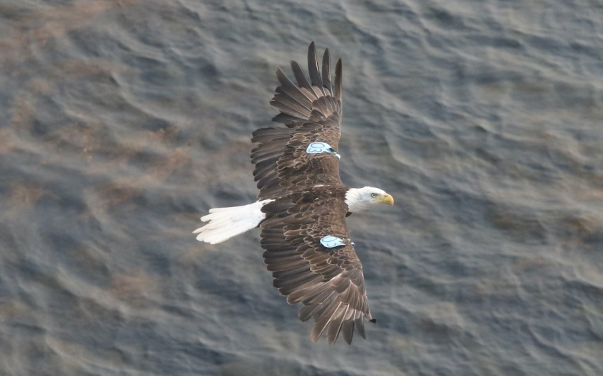 Two Bald Eagles Take Up Residence at Scorpion Anchorage