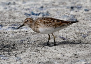 Santa Barbara Birding: Fall Is Here and Shorebird Migration Is Rich This Year