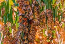 Despite Restoration, Monarchs Still Missing from Demolished Beach City Grove