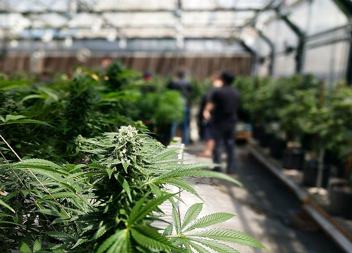 Santa Barbara Cannabis: Pot Price Drop and Market Glut? - The Santa Barbara Independent