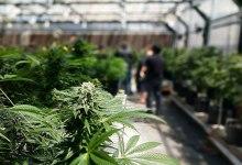 Santa Barbara Cannabis: Pot Price Drop and Market Glut?