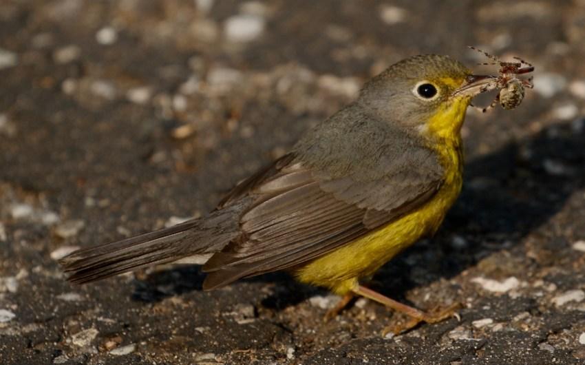 Santa Barbara Birding: Migration Rarity Roundup